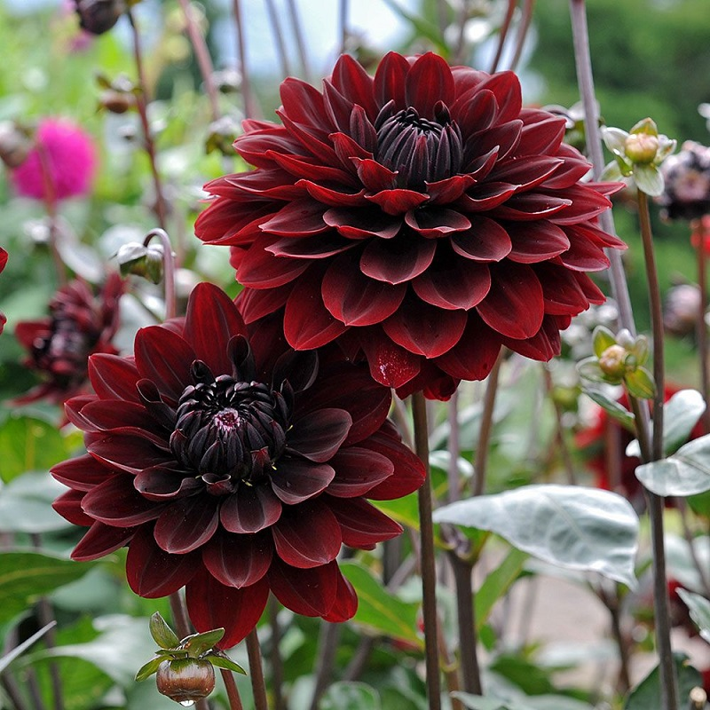 Black dahlia flower: cultivation and care